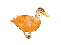 Orange Duck