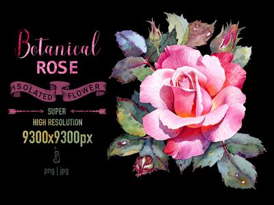 Botanical Illustration Rose flower