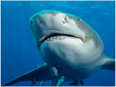 Lemon Shark 1 fish sharks atlantic florida ocean lemon shark shark