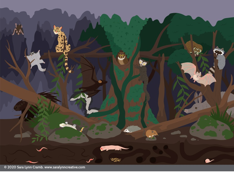 Nocturnal Animals zoo exhibit childrens publishing nocturnal animals nocturnal wildlife kidlitart educational illustration animals illustration vector sciart