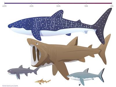 Shark Size chart childrens publishing educational kidlitart educational illustration animals nonfiction sciart vector ocean life great white shark whale shark shark