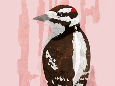 Downy Woodpecker digital illustration natural science wildlife vector sciart animals illustration illustrator bird woodpecker