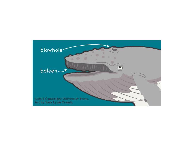 Humpback Whale Head Diagram wildlife digital illustration vector illustration vector whale humpback animals islands galapagos ocean map ecuador