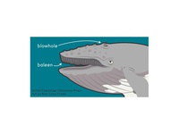 Humpback Whale Head Diagram
