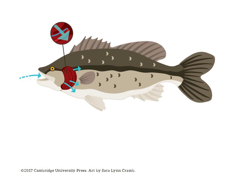 Fish Respiration illustration fish digital art vector illustration animal illustration respiration nonfiction biology illustration kidlitart sciart animal