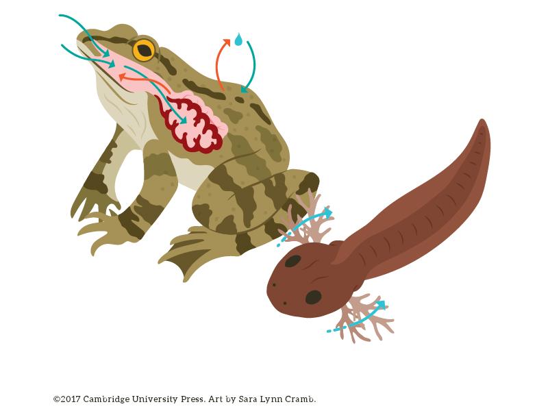 Frog Respiration illustration frog digital art vector illustration animal illustration respiration nonfiction biology illustration kidlitart sciart animal