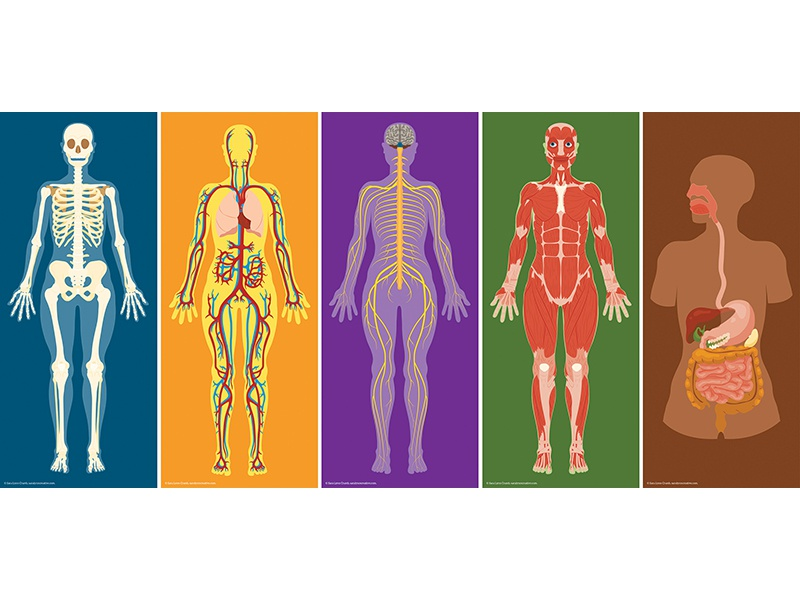 Human Body Systems By Sara Lynn Cramb Dribbble Dribbble