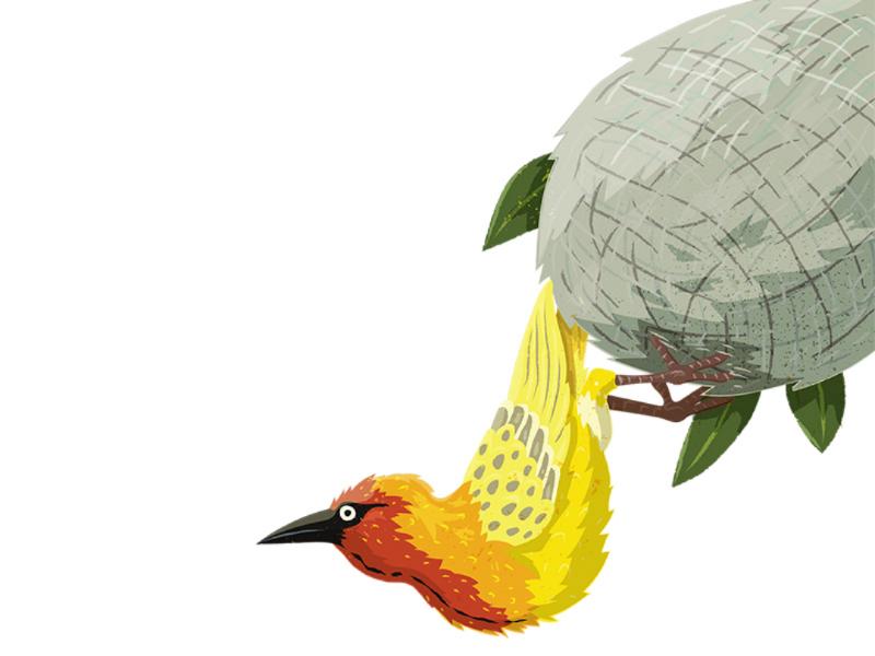 Weaver Bird childrens book kidlitart sciart animal behaviour den nest engineer animals bird weaver bird