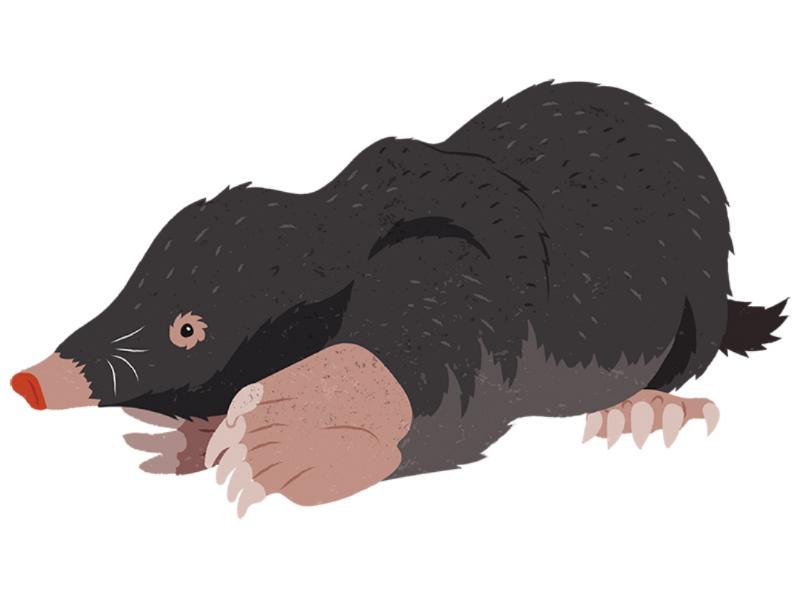 Little mole illustration childrens book sciart mammal animals borrowing animal behavior nest den digging animal engineer mole