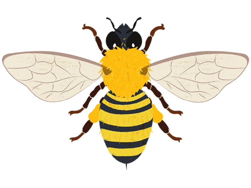 Bee illustration educational biology kidliart animal behavior animals sciart insect bee