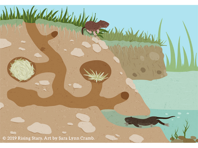 Cross section of a vole burrow cross section vector illustration nonfiction kidlitart sciart childrens publishing animals animal behavior shelter den burrow vole