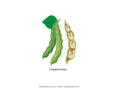 Common bean