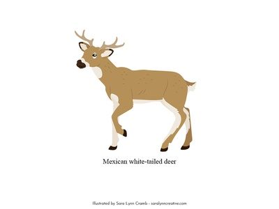 Mexican white-tailed deer