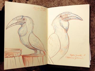 Blyth's Hornbill hornbill illustration sketchbook lincoln park zoo pencil