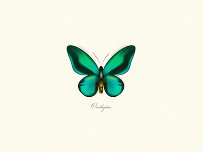 Ornithoptera Butterfly