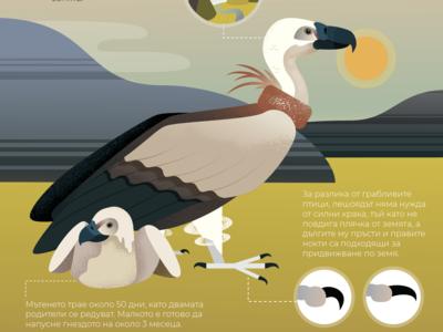 Griffon Vulture Infographic