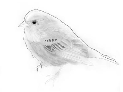 Birdy Sketch
