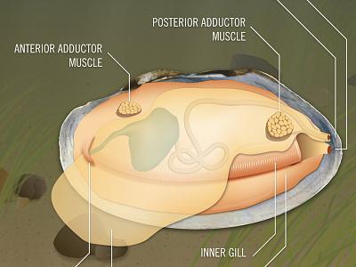 Fairmount Water Works - Mighty Mussel interactive anatomy illustration mussel