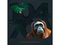 Freya Betts x Bornean Orangutan