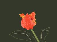 Hannah Warren 'Flora Parrot Tulip'