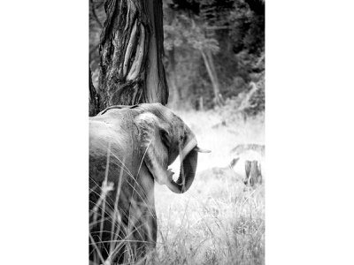 Elephant depth of field grass photograph wildlife bush african woman black and white creative wild photography african bark elephant