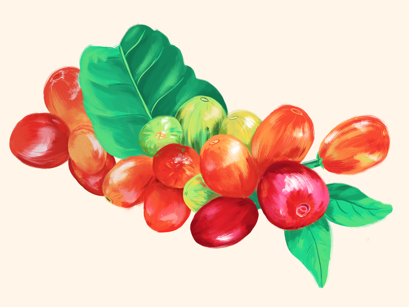 Coffee Cherries Developing procreate colorful illustration digital painting plants botanical illustration joe coffee company coffee coffee cherries coffee plant