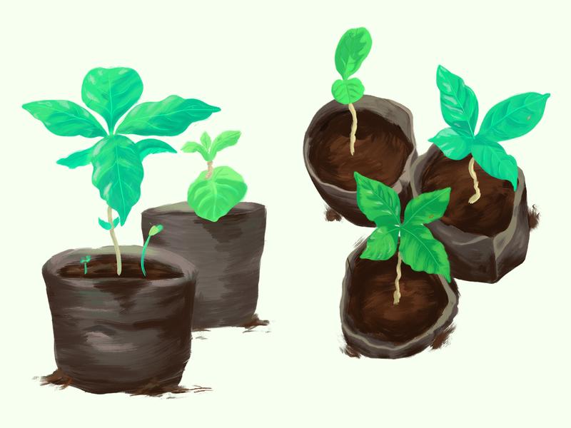 Coffee Seedlings realistic painting botanical leaves spot illustration oil paint coffee plants green painterly procreate illustration joe coffee company