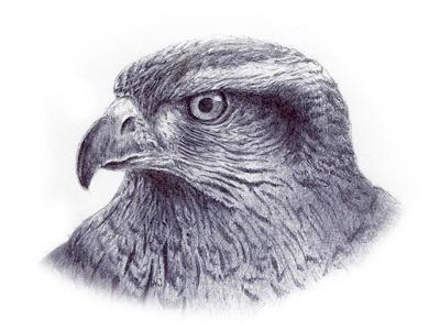Red Tail Hawk Sketch sketch ink hawk
