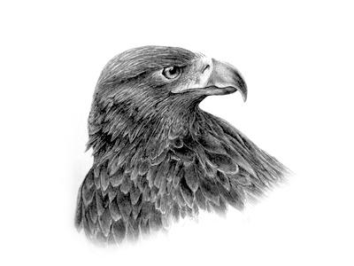 Golden Eagle Sketch sketch ink eagle