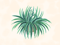 Spider plant illustration