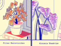 Pilea Baconioides