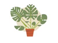 Monsterra Plant