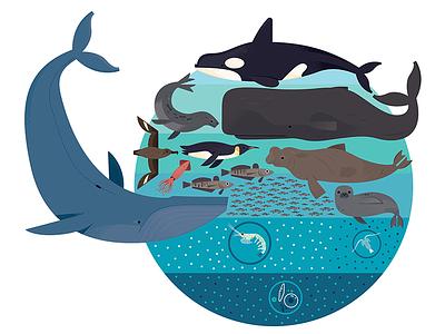 Antarctic Food Chain orca fish whales sea life ocean life wildlife animals illustrated infographic chart infographic design illustration