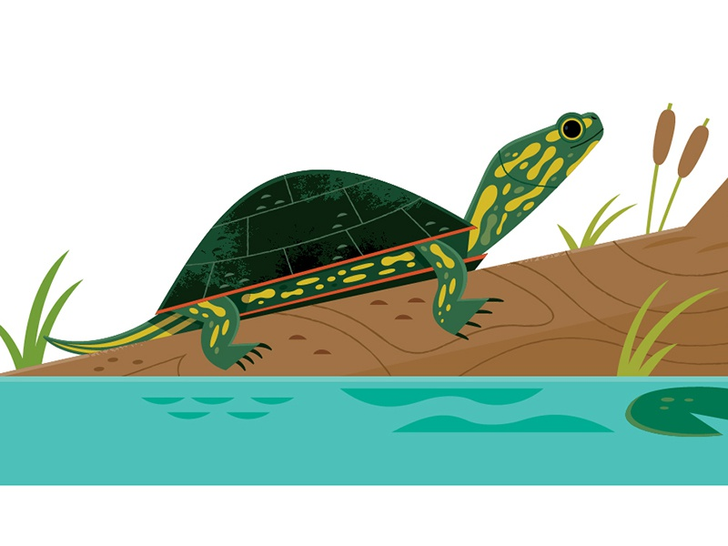 Pond Turtle wetlands reptiles turtle science wildlife nature animals illustration