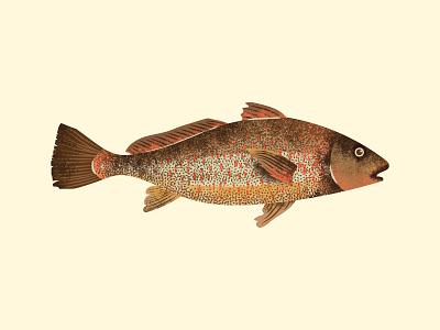 Corvina sun design fishing water summer set design jungle amazon illustrator vector grain texture grain river brazil peixe fish