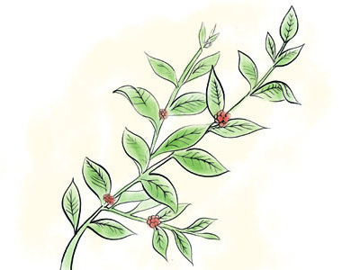 Coffee Plant coffee illustration
