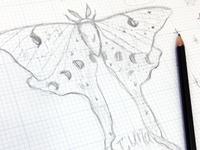Luna Moth Sketch