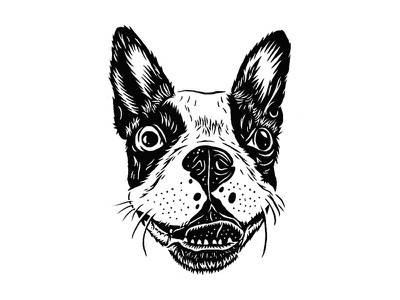 June illustration canine handdrawn portrait boston terrier