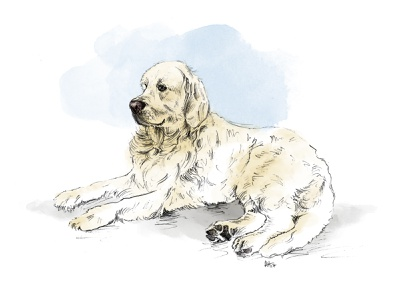 Ringo digital painting photoshop pencil dog illustration illustration golden retriever retriever dog
