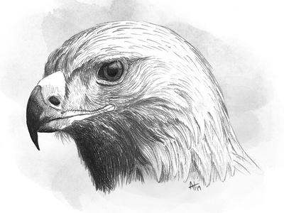 Eagle bird of prey bird eagle pencil drawing drawing