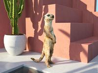 Poolside Meerkat