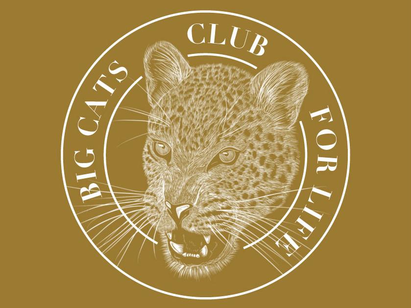 Big Cats Club Leopard Sticker safari jungle badgedesign leopard sticker mule sticker design sticker badge logo typography illustration hand lettering lettering vector design
