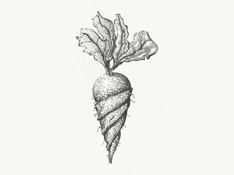 Die verdrehte Wurzel illustrator deutsch german mangled gnarled turnip beet rutabaga carrot vegetable root twisted