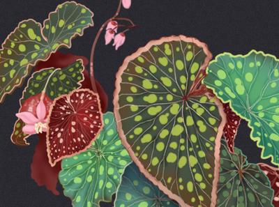 Begonia istanbul begonia nature editorial illustration concept art illustration botanical art botanical digital illustration plant