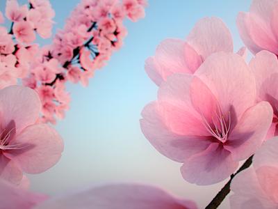 Cherry Blossoms cherry blossom flowers 3d art 3d cg blender3d blender
