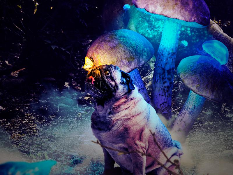 The curiosity of a dog. butterfly pug dog manipulation imagination animal art imaginary world fantasy assembly animal
