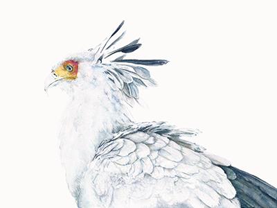 Secretary Bird ornithology feathers bird aviary nature watercolor secretary bird