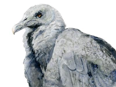 Black Vulture Watercolor
