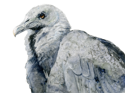 Black Vulture Watercolor ornithology aviary watercolor illustration art bird painting house of watercolor