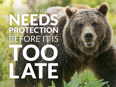 Wyoming Wildlife Advocates Postcard lato yellowstone ngo bear grizzly postcard print wyoming wildlife animals non-profit